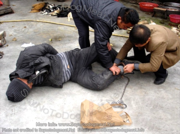 Dog snatcher being bound and trussed by authorities. Getting a taste of his own medicine!