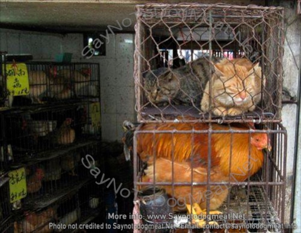 Cat meat cats waiting in line to be brutally slaughtered.