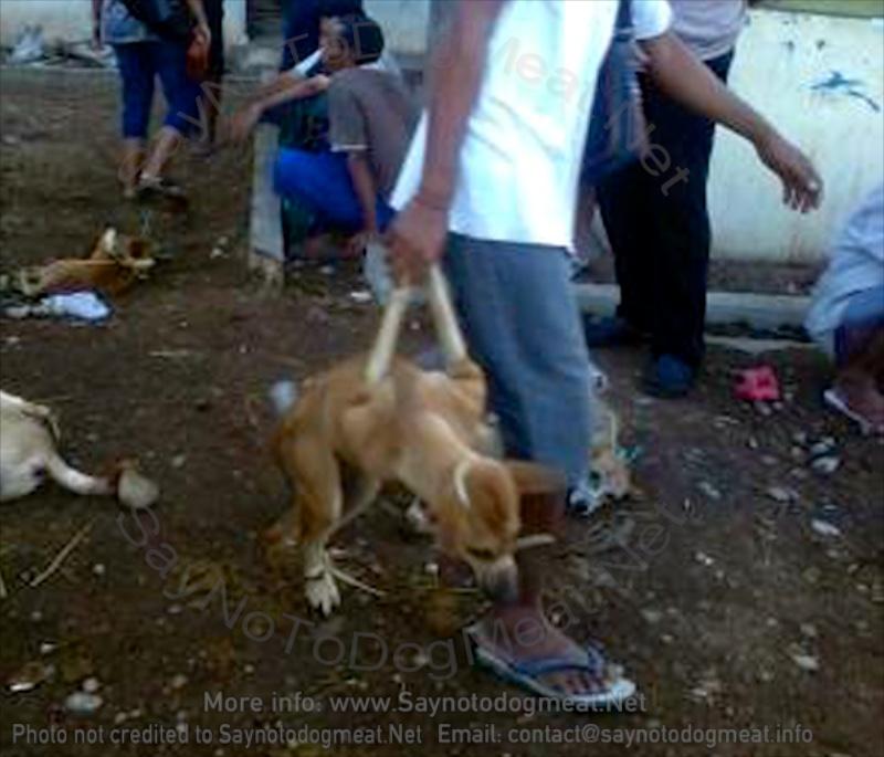 Indonesia, Kupang: Dog-Meat Dogs CruelTreatment