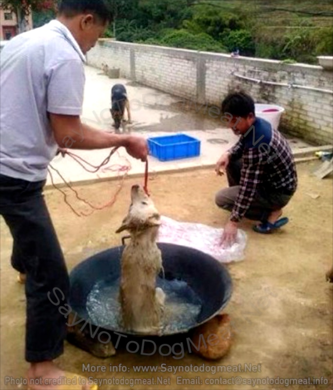 Dog-Meat Dog In Boiling Water