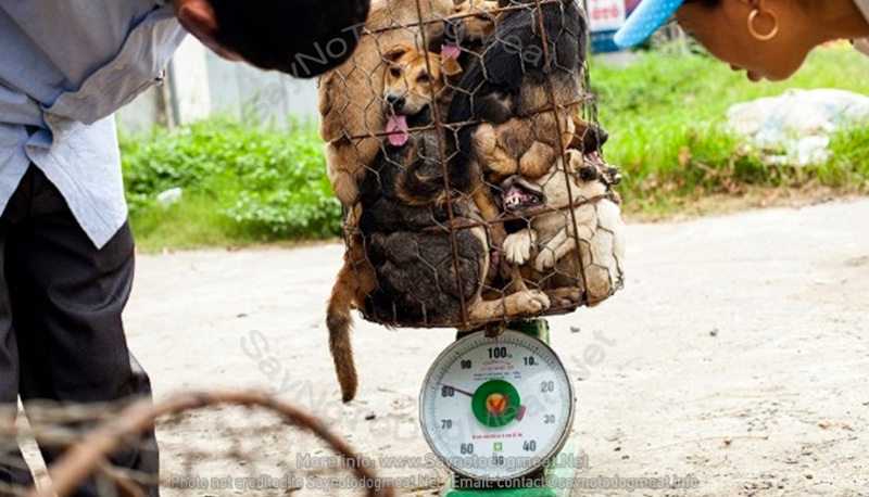 Vietnam: Crammed Into Dog Meat Cages