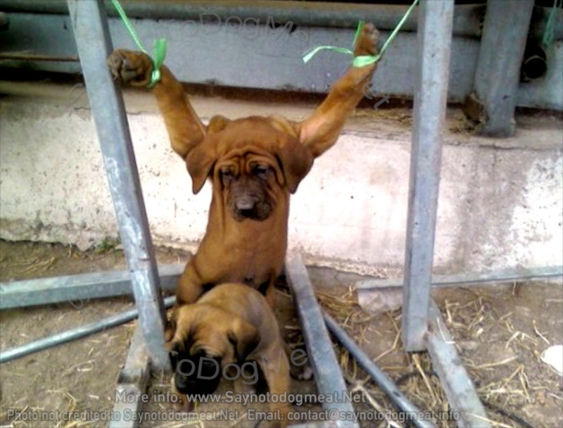 South Korea: Dogs On Dog MeatFarms