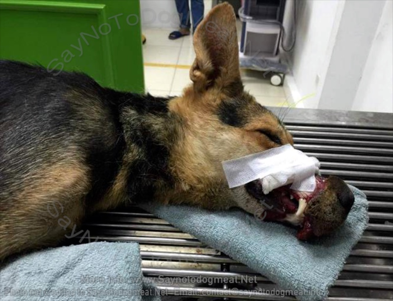 VIDEO – Vietnam: Different Dog Meat Dog With Mouth Taped Shut – Dies InHospital